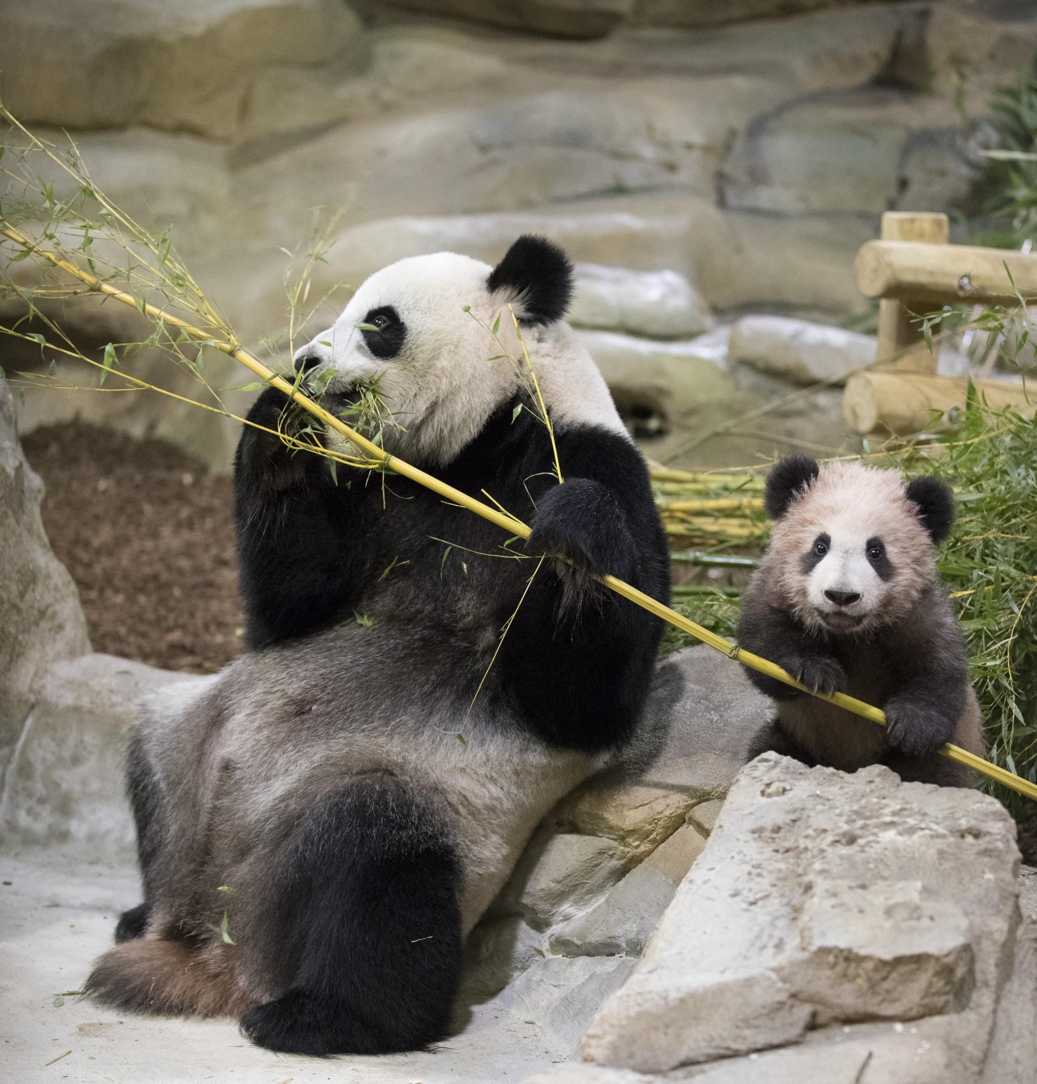 136-beaval-yuan-meng-mini-yuan-zi-panda.jpeg