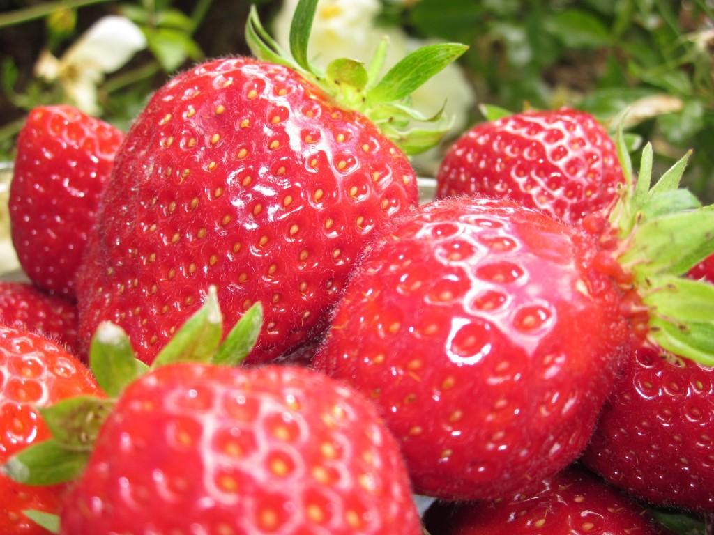 228-plougastel-musee-fraise-fraises.jpg
