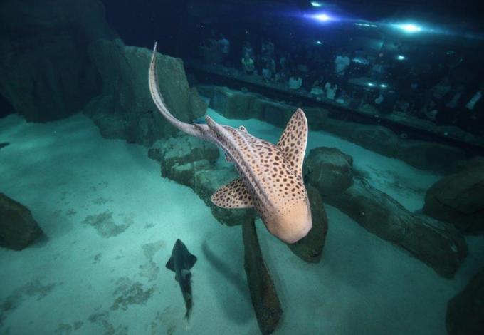 aquarium-de-paris-requin-zebre.jpg