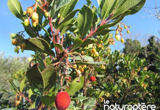 145-naturoptere-arbousiers-vaucluse.jpg