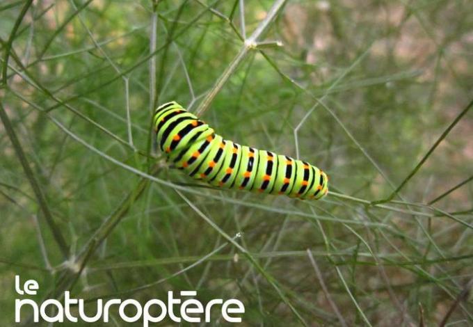 145-naturoptere-vaucluse-chenille.jpg
