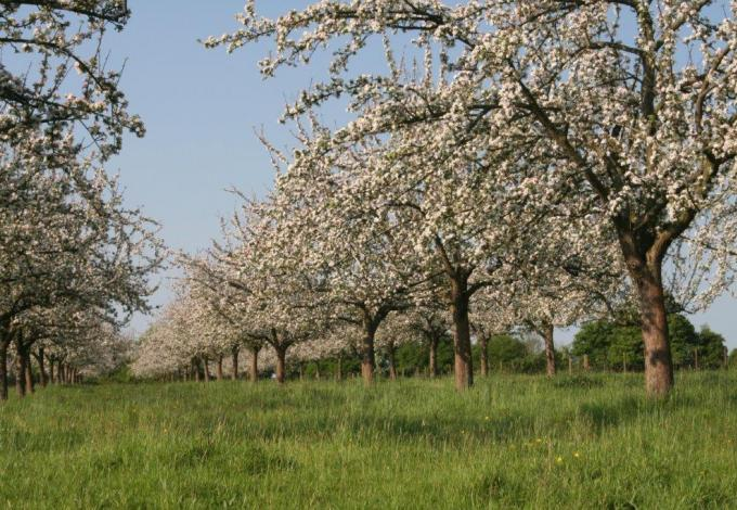 217-calvados-verger-huet---pommiers-haute-tige-en-fleurs.jpg