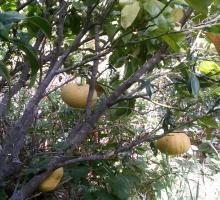 568-jardin-botanique-fruitier-avapessa-corse.jpg