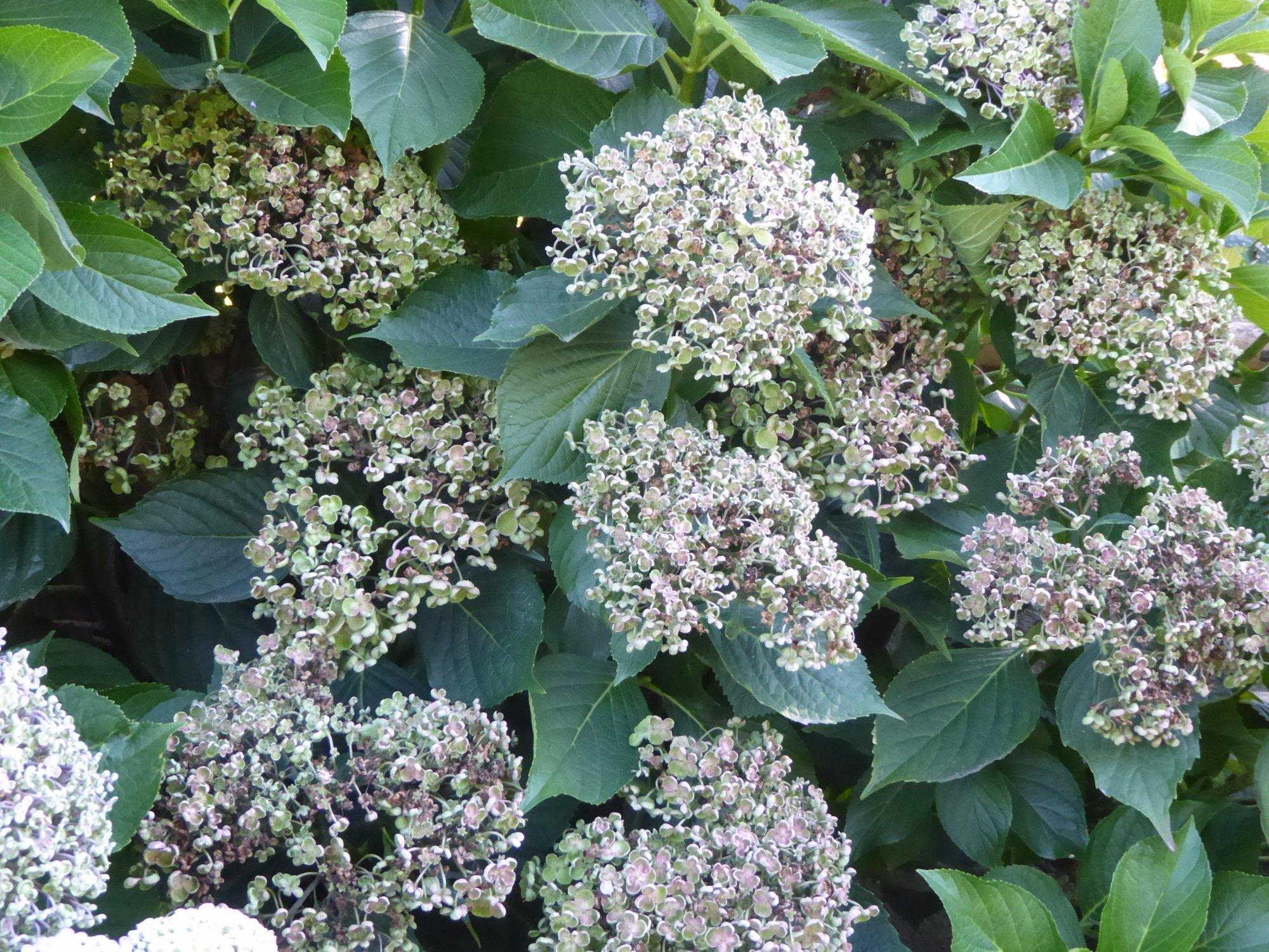 273-hortensias-jardins-de-coursiana-gers.jpg