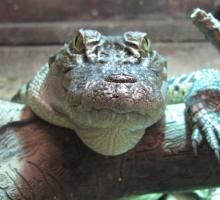 1205-crocodile-mescoules.jpg