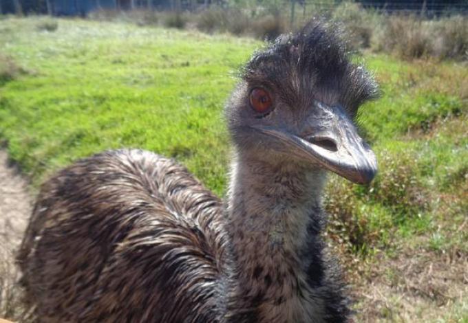 106-clos-des-ratites-emeu.jpg