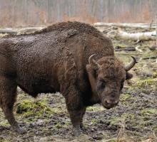 258-bison-europe-lozere.jpg