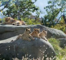 645-zoo-de-vincennes-lionne(1).jpg